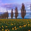 Twilight Color Falls Upon The Daffodils - Skagit Valley Tulip Fields, Washington