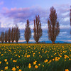 Twilight Color Falls Upon The Daffodils - Skagit Valley Tulip Fields, Washington