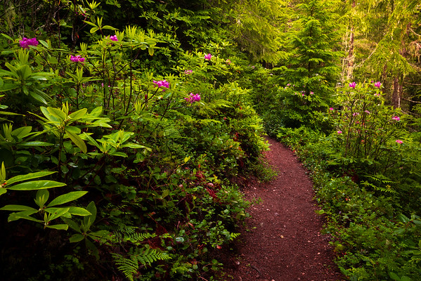 Pathway Of Spring Red - Mount Walker Trail, Olympic National Forest, WA