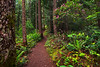 Along The Mount Wallker Trail In Rhododendron Season - Mount Walker Trail, Olympic National Forest, WA