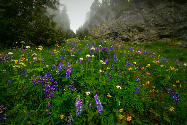 Wildflowers Up Through The Canyon - Mount Rainier National Park, WA