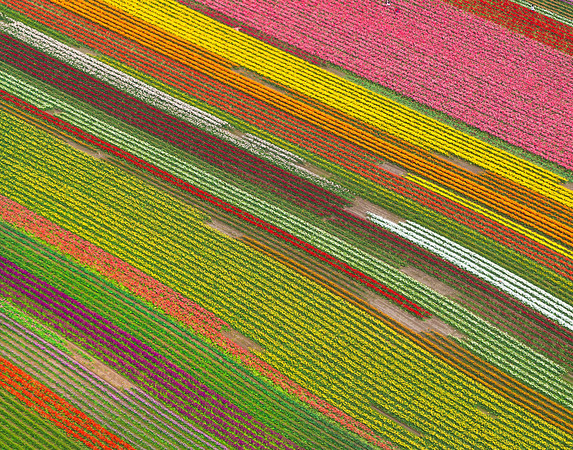 The Rows Of Tulips From The Air - Skagit Valley Tulip Fields, Washington