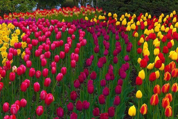 An Array Of Color - Skagit Valley Tulip Fields, Washington
