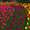 An Array Of Color - Skagit Valley Tulip Fields, Washington