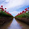 The Reflections Of Tulips - Skagit Valley Tulip Fields, Washington