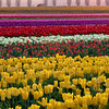 Horizontal Layers Of Tulips - Skagit Valley Tulip Fields, Washington