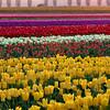 Horizontal Layers Of Tulips - Skagit Valley Tulip Fields, Washington