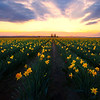 Daffodils Of Washington - Skagit Valley Tulip Fields, Washington