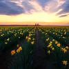 Daffodils Of Washington - Skagit Valley Tulip Fields, Washington
