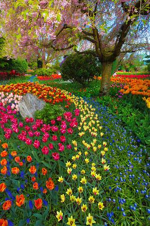 Patterns Of Color - Skagit Valley Tulip Fields, Washington