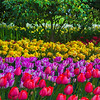 In Depth Layers Of Color - Skagit Valley Tulip Fields, Washington
