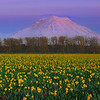 Daffodil Fields Complement The Alpenglow Of Mt Rainier - Puyallup, Washington