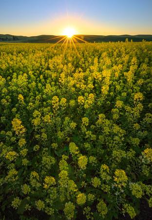 Canola Sunburst Last Light -The Palouse, Eastern Washington And Western Idaho
