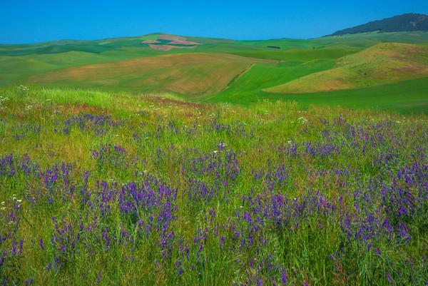 Purple Vetch Meadows -The Palouse, Eastern Washington And Western Idaho