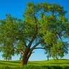 The Giant Oak Standing Its Ground -The Palouse, Eastern Washington