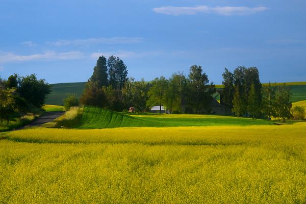 Rolling Fields Into Canola - The Palouse Region, Washington