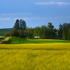 Rolling Fields Into Canola - The Palouse Region, Washington