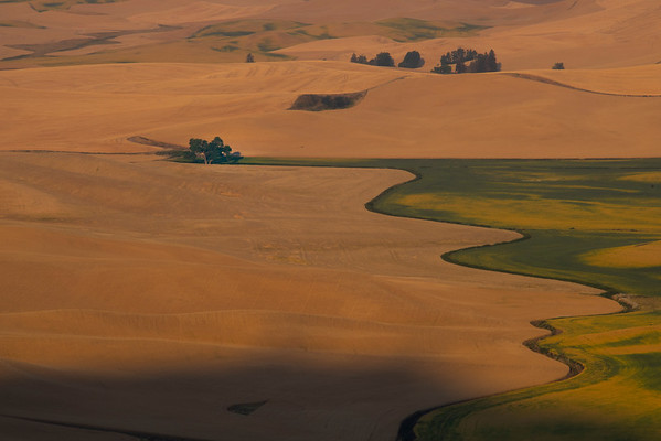 The Brocoli Tree Under Morning Light - Steptoe Butte State Park, Palouse, Eastern Washington