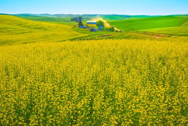 Overlooking Barn In Valley Of Canola -The Palouse, Eastern Washington And Western Idaho
