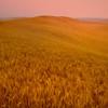 Twilight Cast Over The Wheat Field - Palouse, Eastern Washington