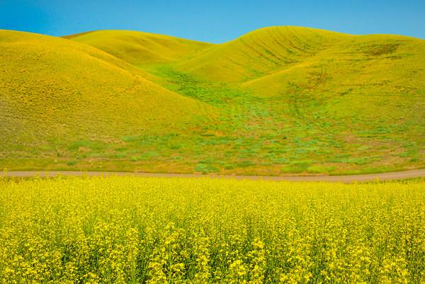 Rolling Valleys Of Canola -The Palouse, Eastern Washington And Western Idaho