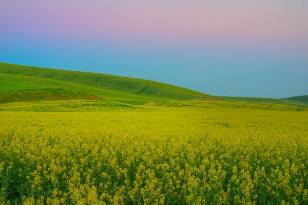 Canola Twilight Hills -The Palouse, Eastern Washington And Western Idaho