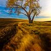 Lone Tree In Autumn Light _The Palouse_Eastern Washington