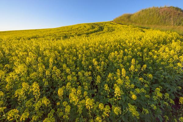 Canola Up Close On The Hill -The Palouse, Eastern Washington And Western Idaho