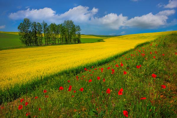 Rows Of Poppies And Canola -The Palouse, Eastern Washington And Western Idaho