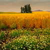 A Touch Of Spring In The Foreground - Palouse, Eastern Washington