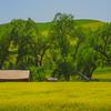 St John Canola Fields -The Palouse, Eastern Washington And Western Idaho
