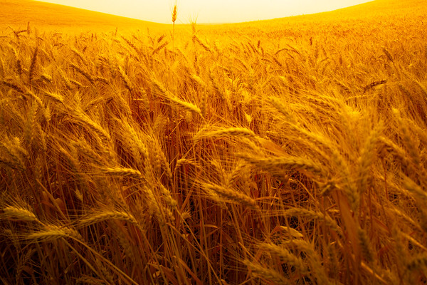 Surreal Look Inside The Wheat - Palouse, Eastern Washington