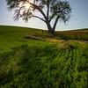 The Iconic Oak Tree And Sunburst -The Palouse, Eastern Washington