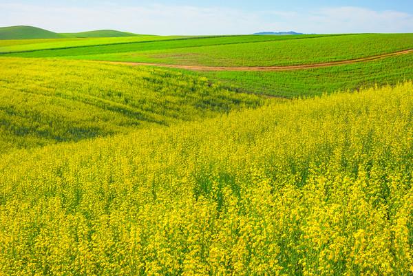 Dipping Hills Of Canola -The Palouse, Eastern Washington And Western Idaho
