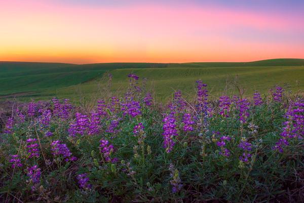 Lupine Sunset On The Hills -The Palouse, Eastern Washington And Western Idaho