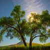 The Solid Oak Tree And Steptoe Together -The Palouse, Eastern Washington