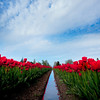 Spring tulips in Skagit Valley, Washington