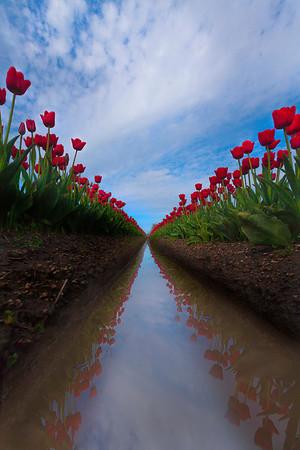 Spring tulips in Skagit Valley, Washington