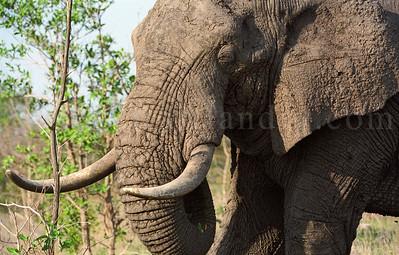 Bigfive - Elephants - Kruger Park - South Africa - ©Rawlandry