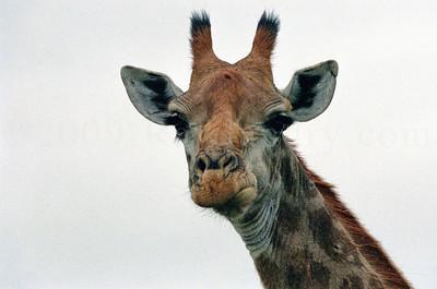 Giraffes - Kruger Park - South Africa - ©Rawlandry