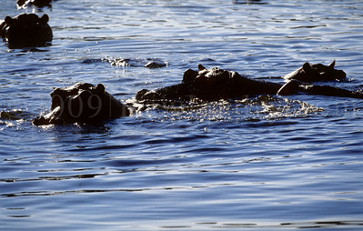 Hippos - Kruger Park - South Africa - ©Rawlandry