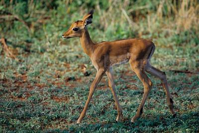 Impalas - Kruger Park - South Africa - ©Rawlandry