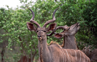 Kudus & Waterbucks - Kruger Park - South Africa - ©Rawlandry