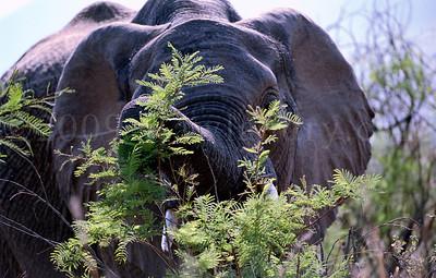 Elephant-WILDLIFE-AFRICA-Pilanesberg-2008-9798-21
