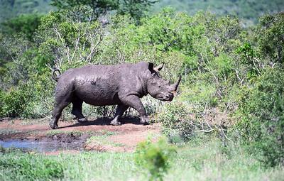 Rhinoceros-WILDLIFE-AFRICA-Kruger-2008-9794-15