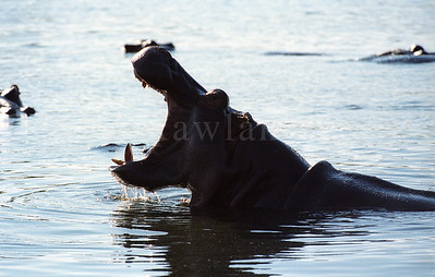 hippo-WILDLIFE-AFRICA-Kruger-2008-9793-18