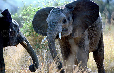 Elephant-WILDLIFE-AFRICA-Pilanesberg-2008-9798-16