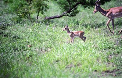 Impala-WILDLIFE-AFRICA-Kruger-2008-9794-20