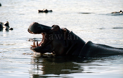 hippo-WILDLIFE-AFRICA-Kruger-2008-9793-19