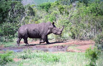 Rhinoceros-WILDLIFE-AFRICA-Kruger-2008-9794-14